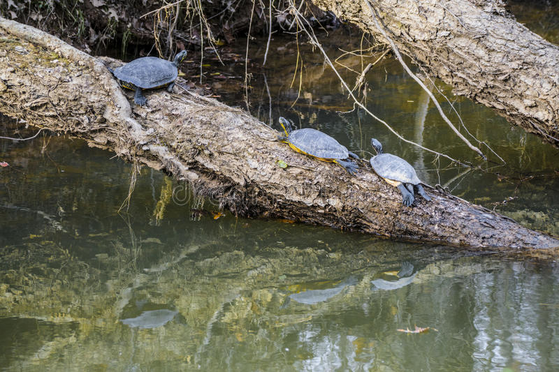 Chilling Turtles stock images