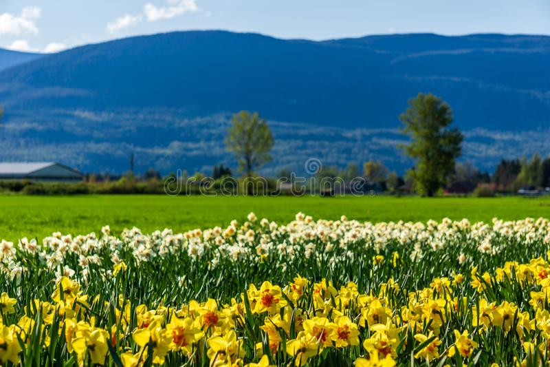 CHILLIWACK, ΚΑΝΑΔΑΣ - 20 ΑΠΡΙΛΊΟΥ 2019: κίτρινος τομέας λουλουδιών daffodils στο αγρόκτημα στη Βρετανική Κολομβία στοκ φωτογραφία με δικαίωμα ελεύθερης χρήσης