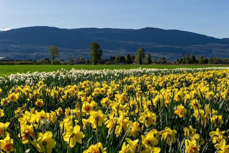CHILLIWACK, КАНАДА - 20-ОЕ АПРЕЛЯ 2019: желтые daffodils цветут поле на ферме в Британской Колумбии стоковое изображение rf
