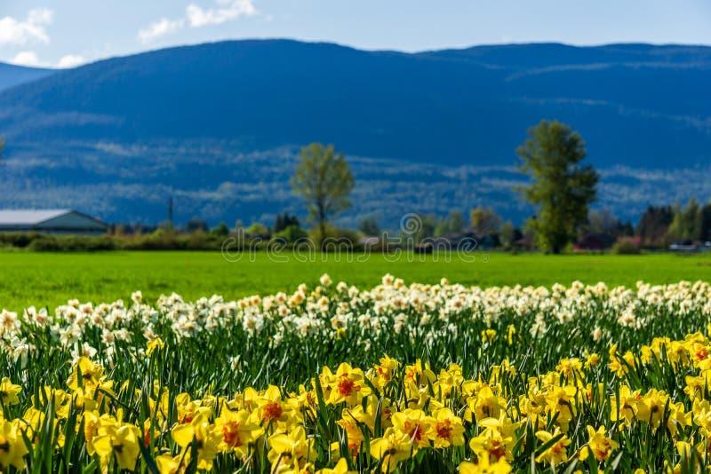 CHILLIWACK, CANADÁ - 20 DE ABRIL DE 2019: los narcisos amarillos florecen el campo en la granja en Columbia Británica foto de archivo libre de regalías