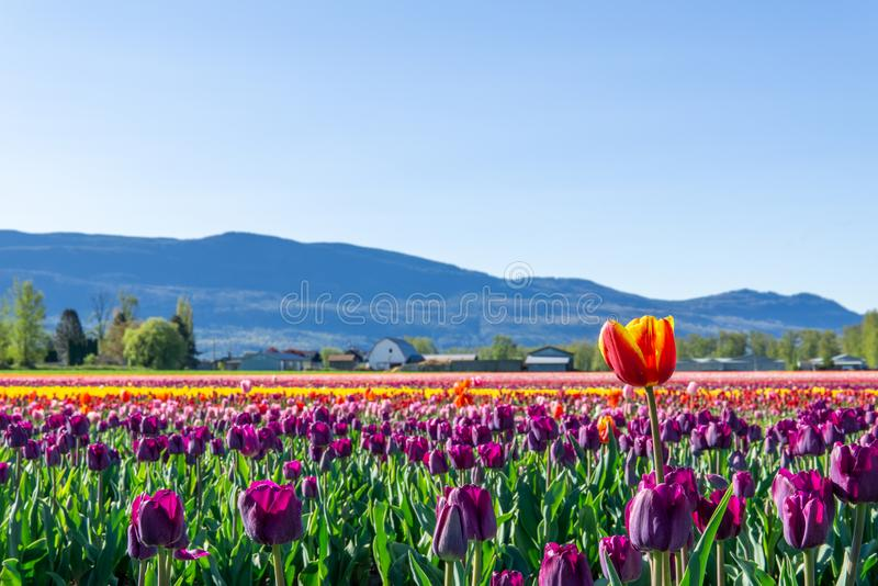 CHILLIWACK, CANADA - APRIL 20, 2019: big tulip flower field at the Chilliwack Tulip Festival in british columbia stock photography