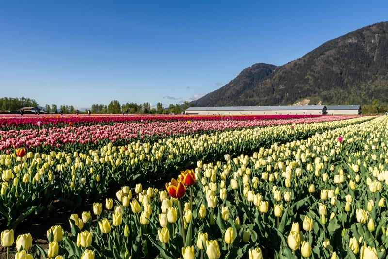 CHILLIWACK, CANADA - APRIL 20, 2019: big tulip flower field at the Chilliwack Tulip Festival in british columbia. Blue day landscape nature travel sky spring royalty free stock photos