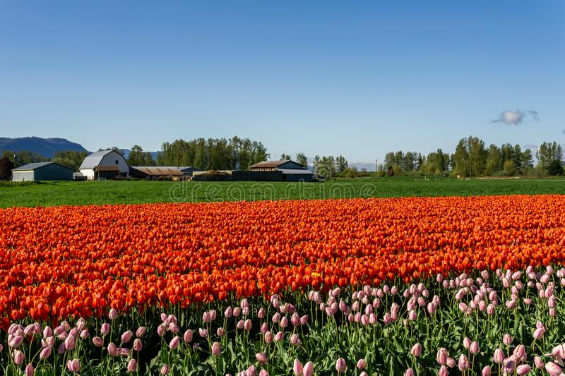 CHILLIWACK, CANADA - APRIL 20, 2019: big tulip flower field at the Chilliwack Tulip Festival in british columbia. Blue day landscape nature travel sky spring stock images
