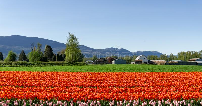 CHILLIWACK, CANADA - APRIL 20, 2019: big tulip flower field at the Chilliwack Tulip Festival in british columbia. Blue day landscape nature travel sky spring royalty free stock image