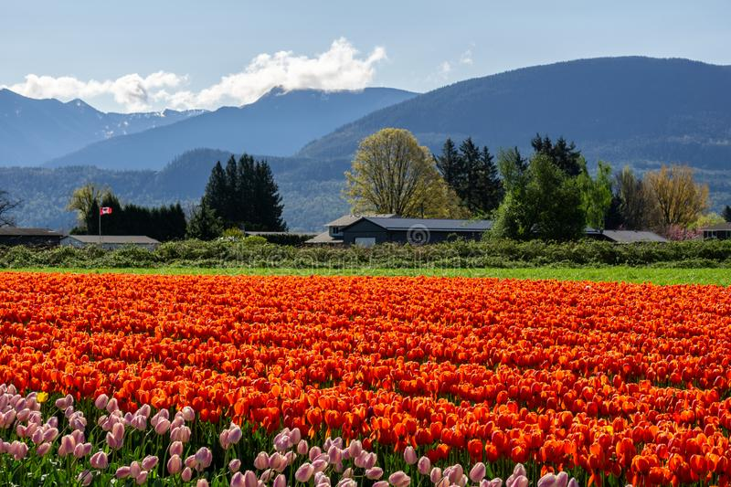 CHILLIWACK, CANADA - APRIL 20, 2019: big tulip flower field at the Chilliwack Tulip Festival in british columbia. Blue day landscape nature travel sky spring stock photo