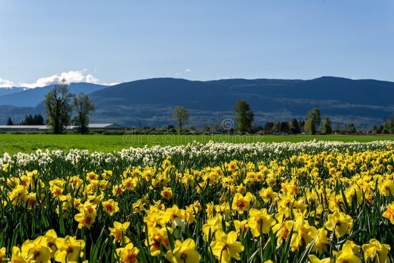 CHILLIWACK, CANADA - 20 APRILE 2019: i narcisi gialli fioriscono il campo all'azienda agricola in Columbia Britannica immagini stock