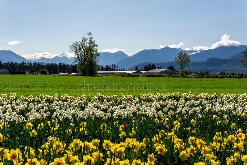 CHILLIWACK, CANADA - 20 APRILE 2019: i narcisi gialli fioriscono il campo all'azienda agricola in Columbia Britannica fotografia stock libera da diritti