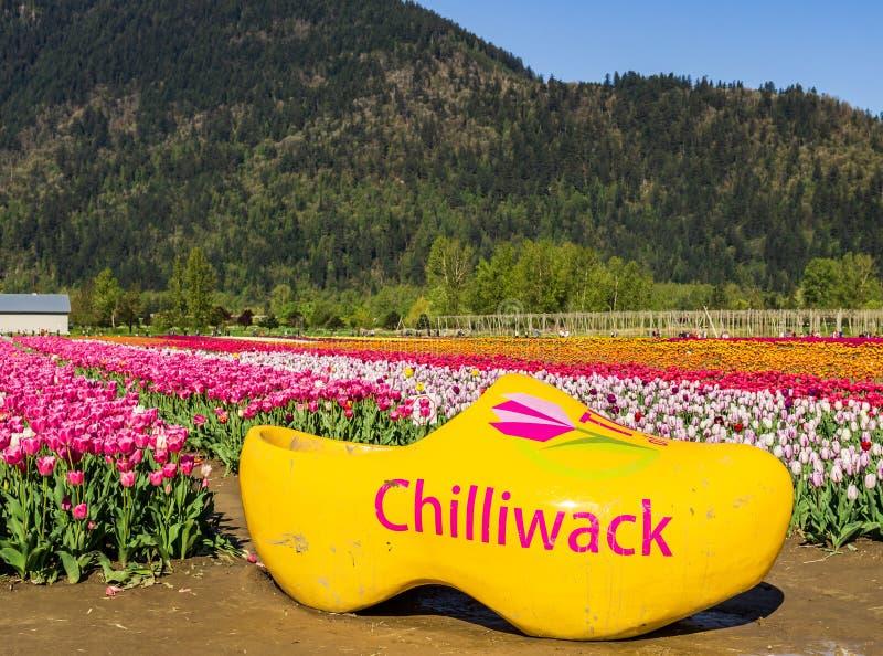 CHILLIWACK KANADA - APRIL 20, 2019: Stor gul träsko på den Chilliwack Tulip Festival brittiska columbia blommalantgården arkivbild