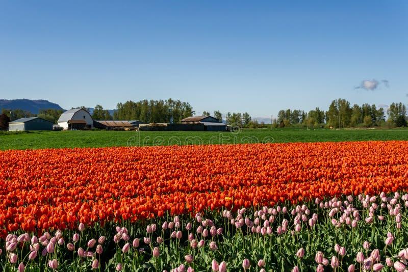 CHILLIWACK KANADA - APRIL 20, 2019: stort tulpanblommaf?lt p? Chilliwacken Tulip Festival i brittiska columbia arkivbilder