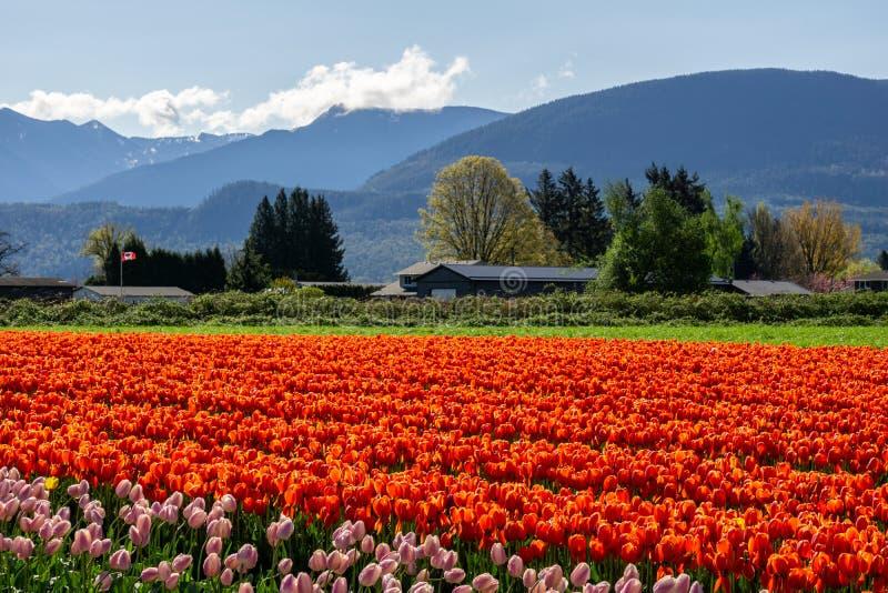 CHILLIWACK KANADA - APRIL 20, 2019: stort tulpanblommaf?lt p? Chilliwacken Tulip Festival i brittiska columbia arkivfoto