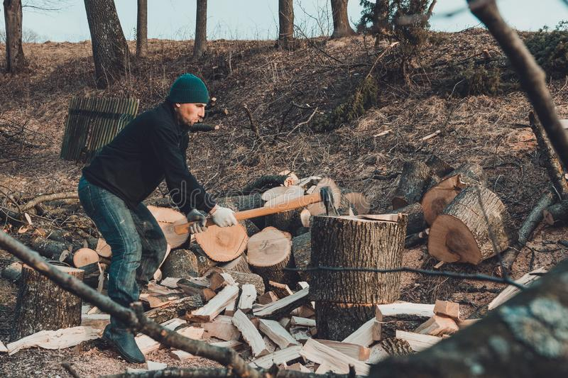 A chilly man harvests wood for cold winter cutting a thick solid ash tree royalty free stock photo
