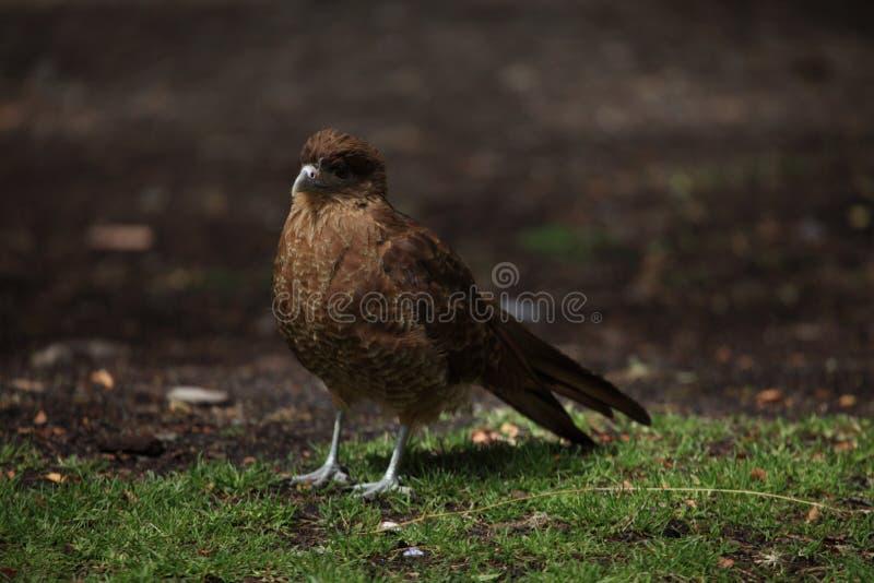 Chimango Caracara bird on Tierra del Fuego stock photo