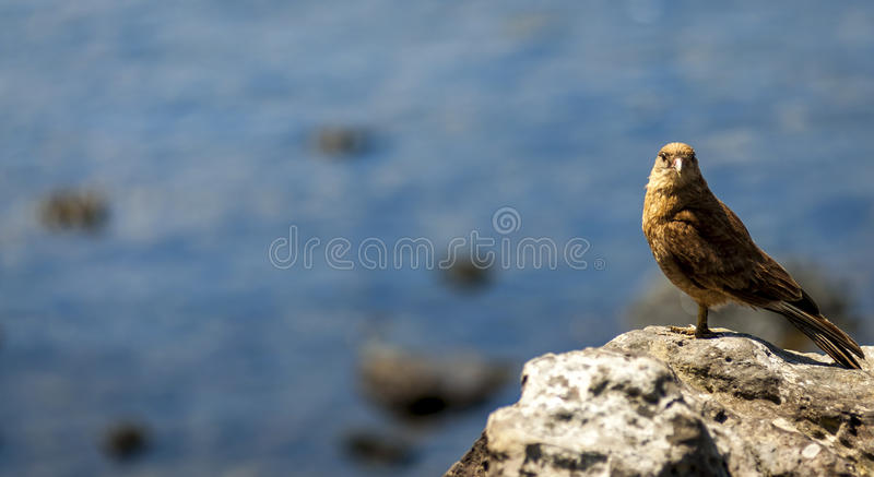 Chimango Caracara, Easter Island, Chile royalty free stock photography