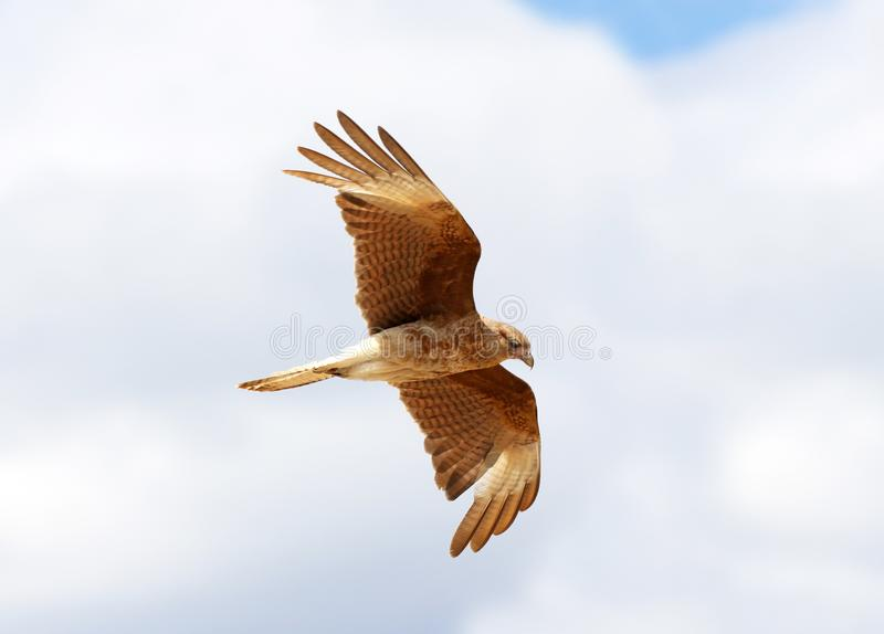 Chimango Caracara in Flight, Cloudy Sky Background. Argentina, South America royalty free stock image