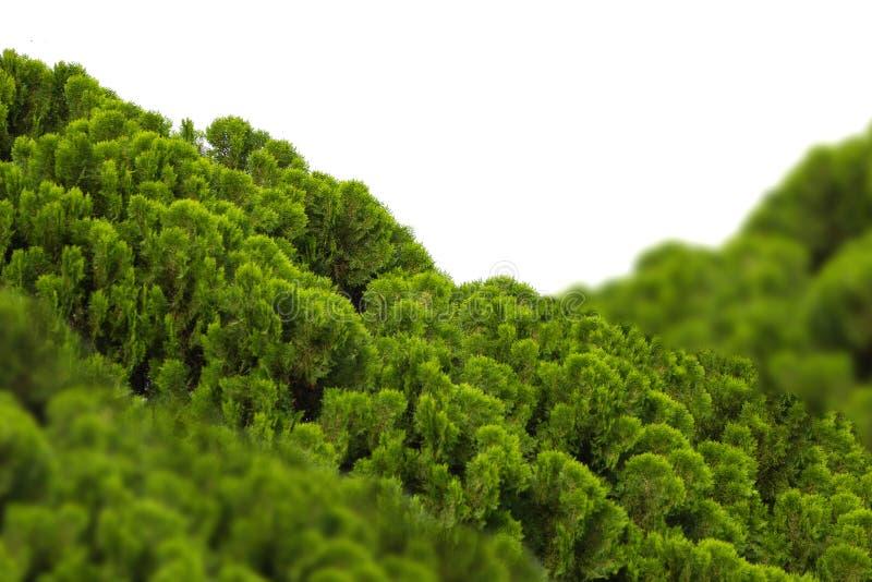 Chimese Arborvitae royalty-vrije stock fotografie