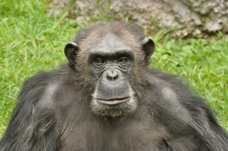 Chimp. Pic of a chimpanzee staring at the camera royalty free stock photography
