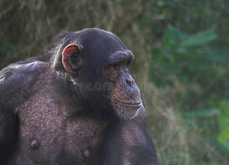 Download Chimp stock photo. Image of hairy, provisions, mammal - 1715892
