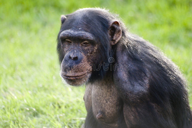 Download Chimp Royalty Free Stock Images - Image: 1715929