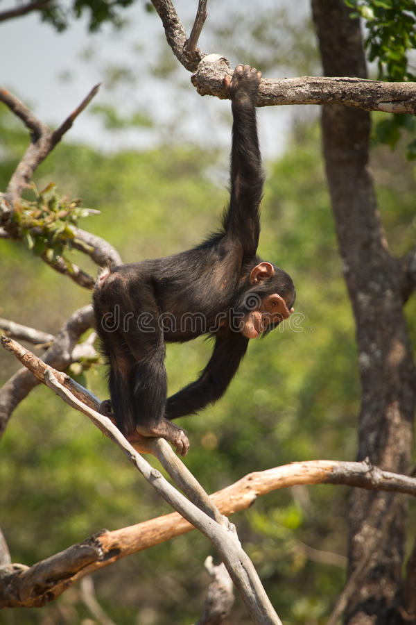 Chimp. Young Wild chimp playing, Zambia royalty free stock images