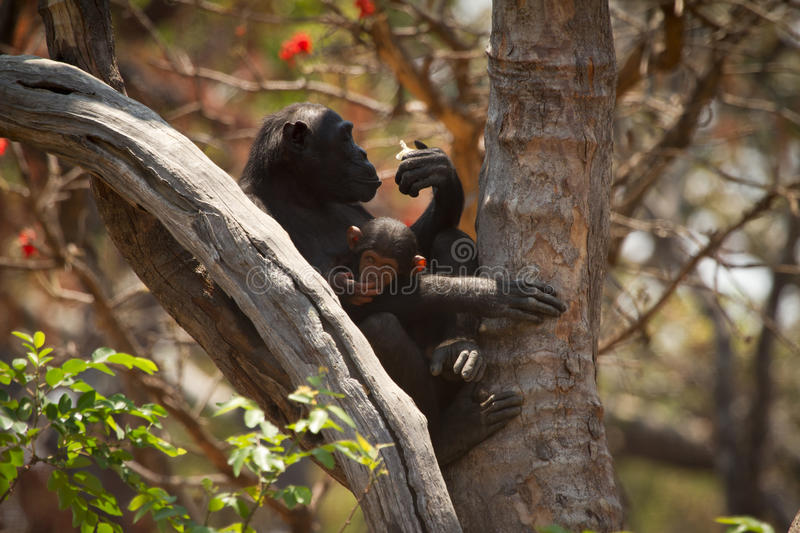 Chimp. Wild chimp with baby, Zambia stock images