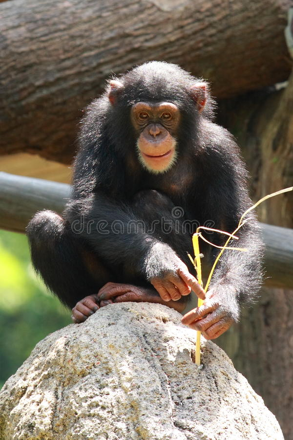 Chimp. A chimp at Singapore Zoo stock photo