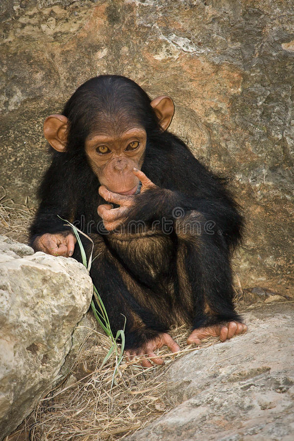 Chimp baby stock image