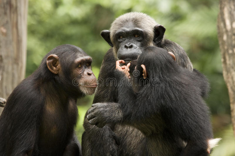 Chimp Family. A family of chimpanzees frolicking under the sun stock photo