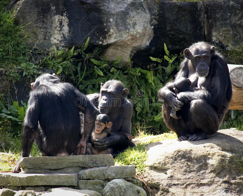 Chimp family portrait. Group of Chimpanzees in the sun stock photography