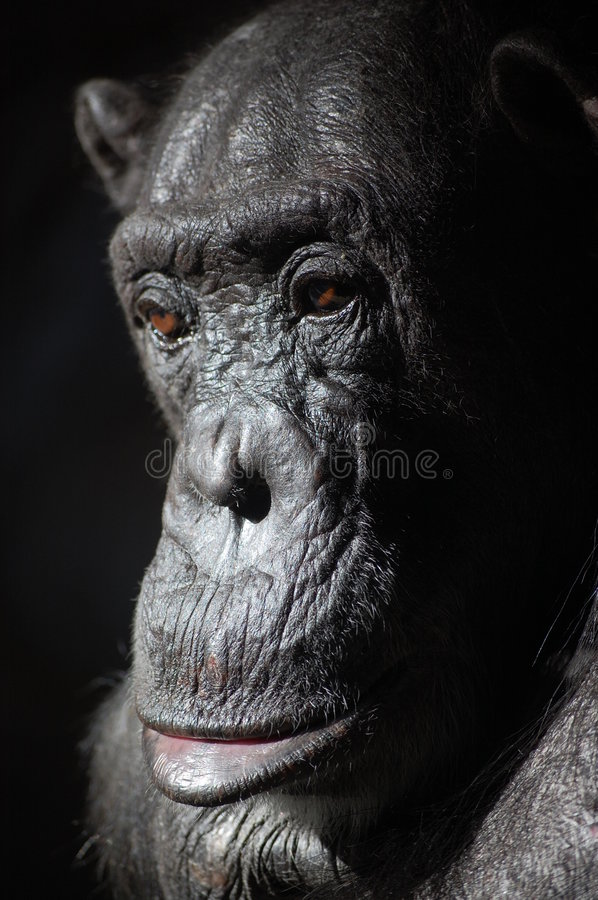Chimp in the great ape family, not a gorilla. This is a chimp in the great ape family, not a gorilla stock image