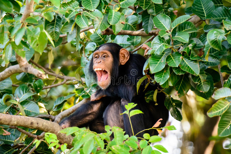 Chimp having a good laugh. Chimpanzee finding something amusing and funny stock photography