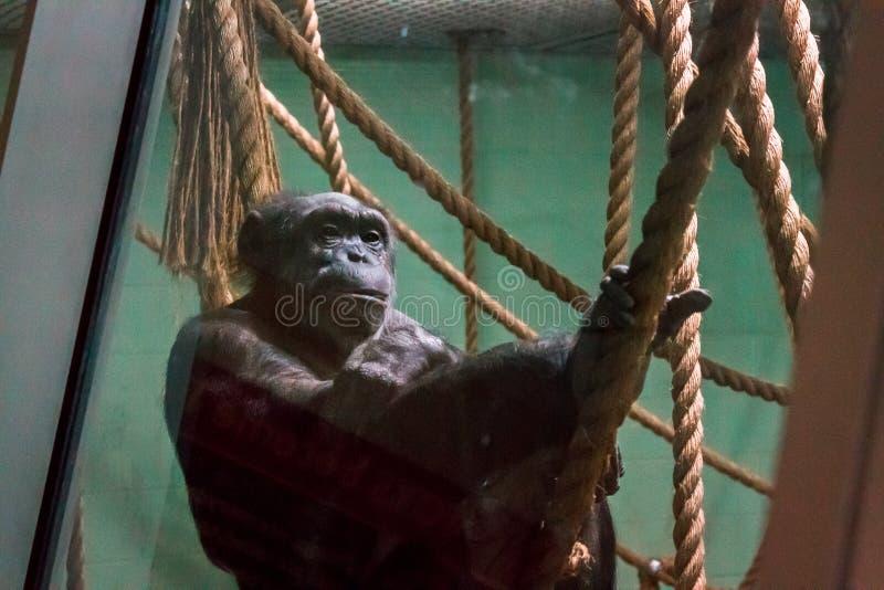 Sleeping Chimp stock image. Image of animals, comfortable - 31390061