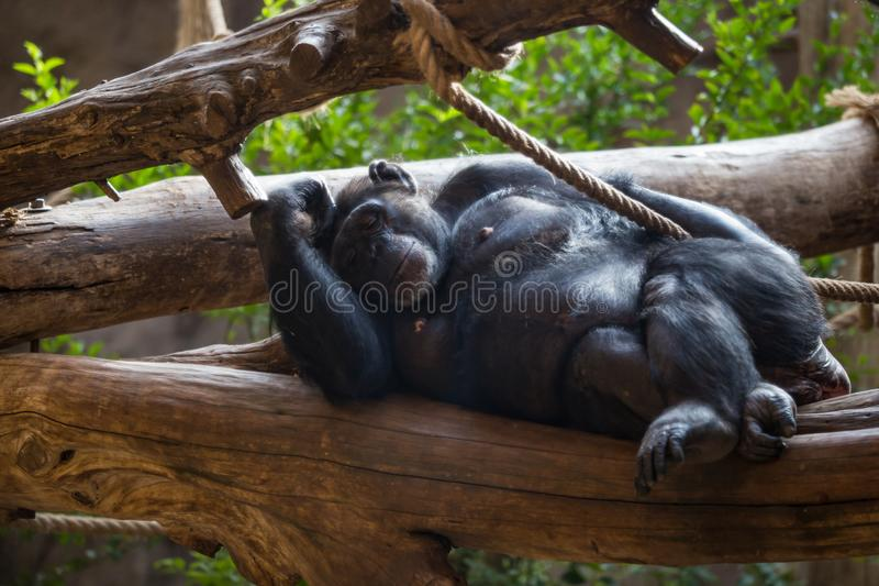 Chimp lying on Tree Trunk and relaxing. Africa stock image