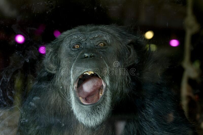 Chimp portrait. Chimpanzee close up portrait with funny look royalty free stock photos
