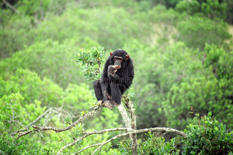 Chimp Thinking royalty free stock images