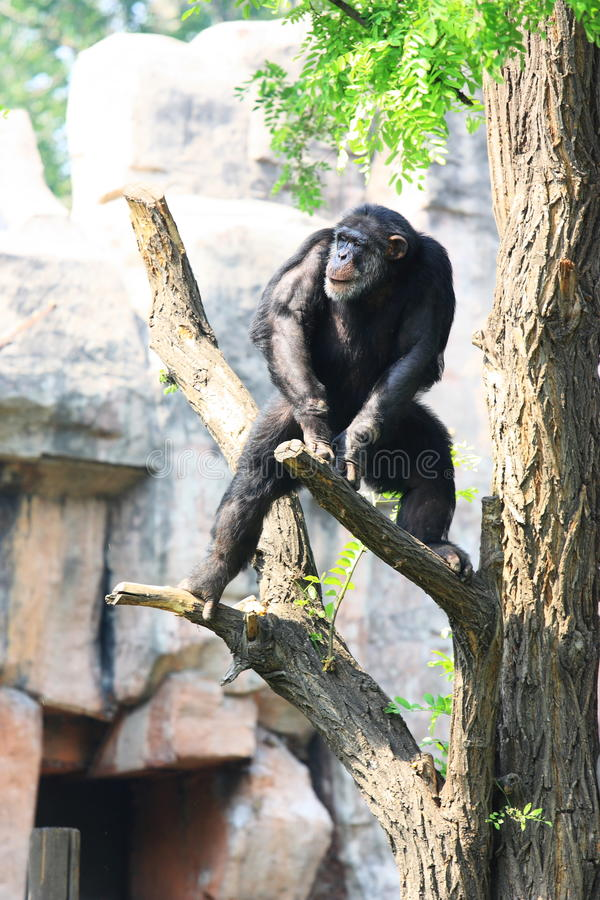 Chimp on tree royalty free stock images