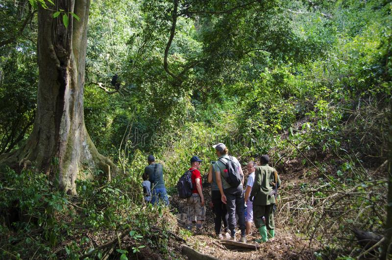 Chimp trekking in Kyambura Gorge. Kyambura Gorge is part of the Queen Elizabeth National Park QENP in Uganda. It is home to a variety of wildlife, including stock photography
