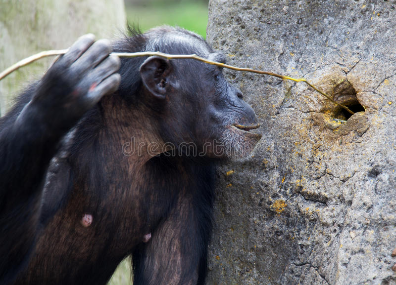 Chimp using tools. Common chimpanzee, Pan troglodytes (West and Central Africa stock photo