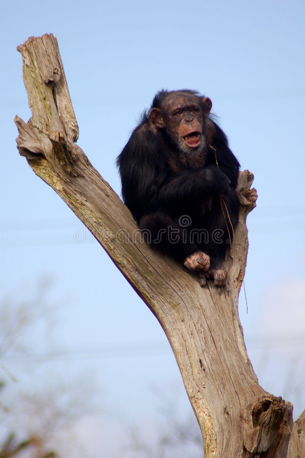 Chimpancé 001 foto de archivo