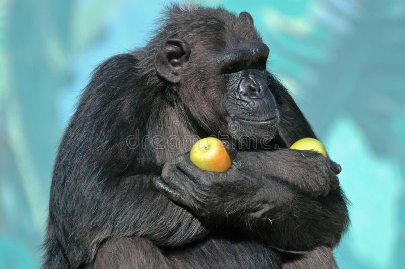 Chimpancé con las manzanas. imagenes de archivo