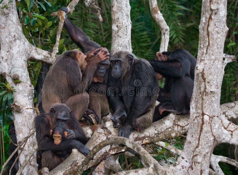 Chimpancé del grupo que se sienta en ramas del mangle El República del Congo Reserva de Conkouati-Douli fotos de archivo libres de regalías