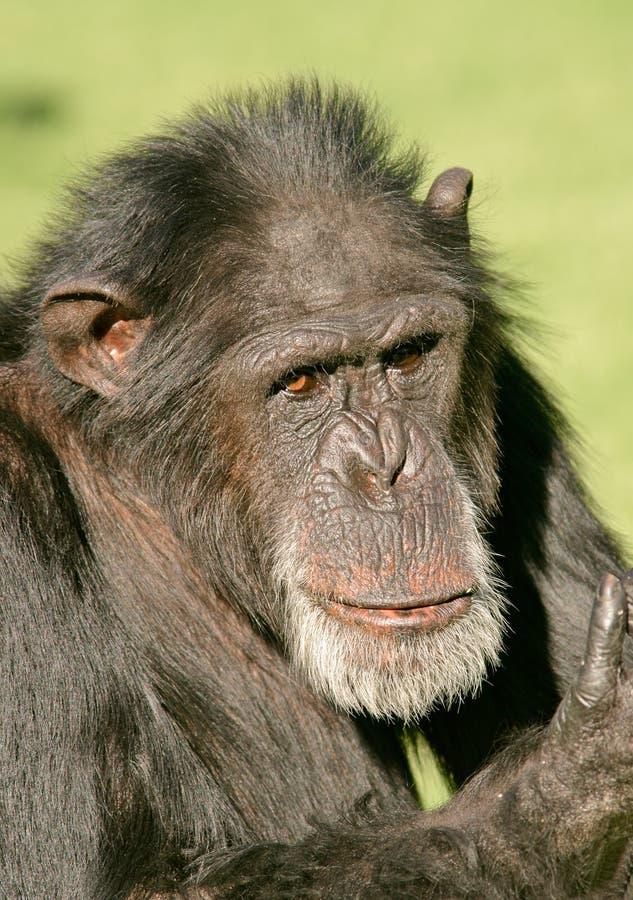 Chimpancé masculino imagen de archivo libre de regalías