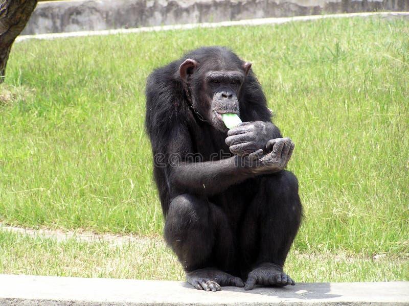 Chimpancé que come el helado imagen de archivo libre de regalías