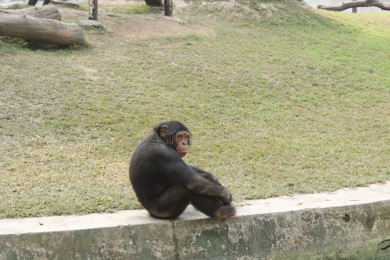 Chimpancé que se sienta en la pared fotografía de archivo
