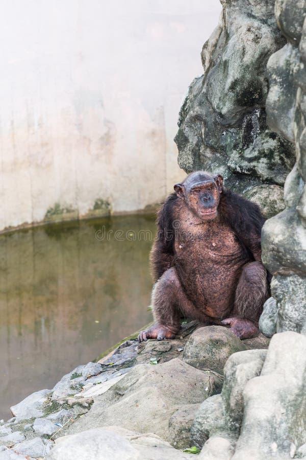 Chimpancé que se sienta en la roca al lado de la piscina fotografía de archivo
