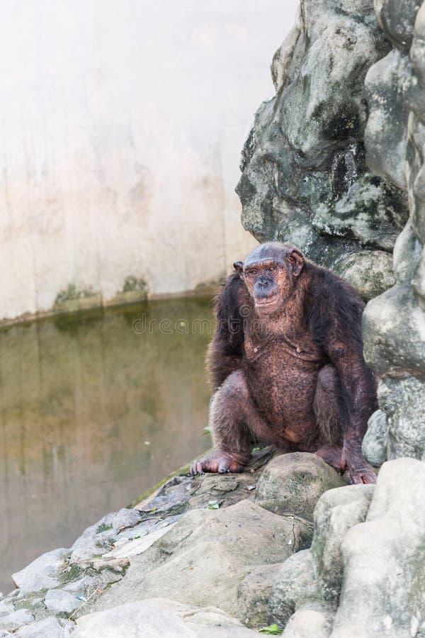 Chimpancé que se sienta en la roca al lado de la piscina imagen de archivo libre de regalías