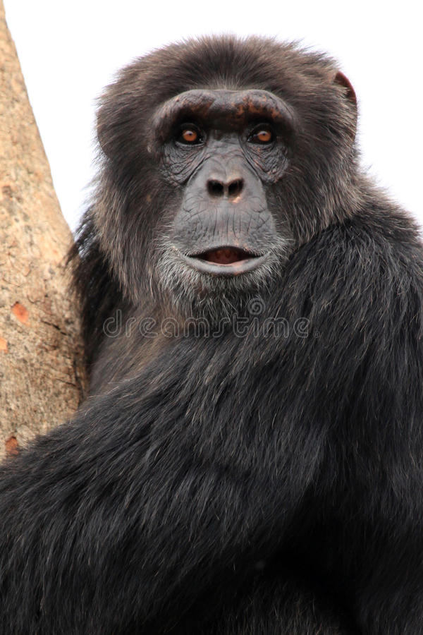 Chimpancé - Uganda imagen de archivo