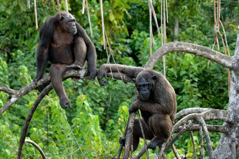 Chimpancés en ramas del mangle El República del Congo Reserva de Conkouati-Douli foto de archivo libre de regalías