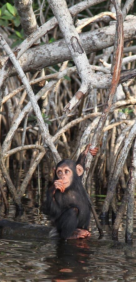 Download Chimpansee stock foto. Afbeelding bestaande uit hulp - 54085058
