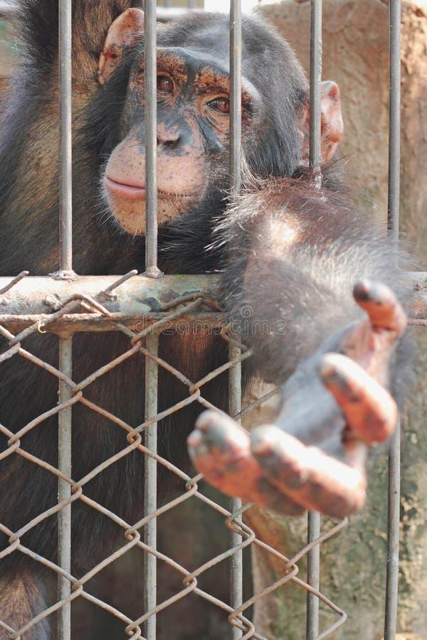chimpansee royalty-vrije stock afbeeldingen