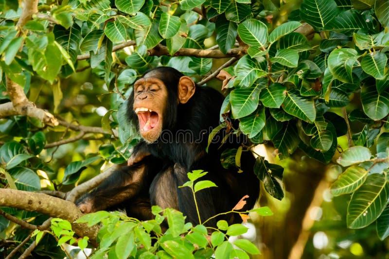 Chimpansee die een goede lach hebben royalty-vrije stock afbeelding